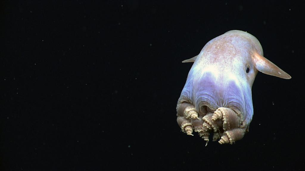 Гримпотевтис. (NOAA Ocean Explorer)