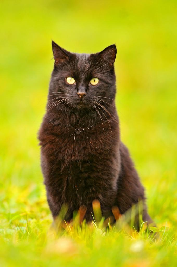 В Японии встреча с чёрной кошкой сулит удачу. (Tambako The Jaguar)