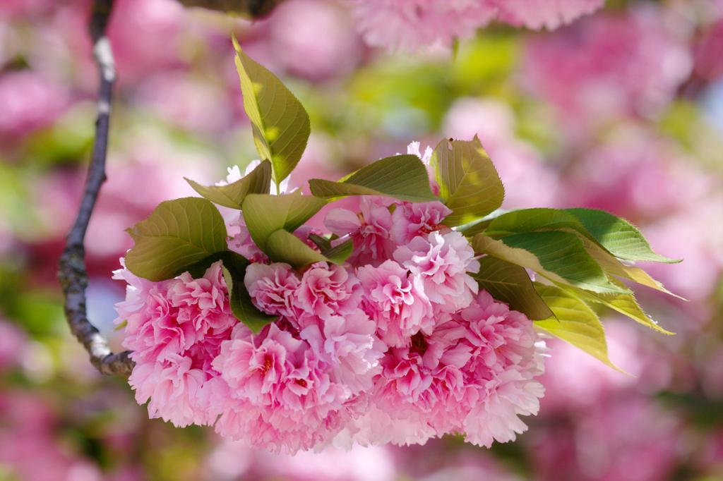 Цветущая сакура, или вишня мелкопильчатая.  (brangal)