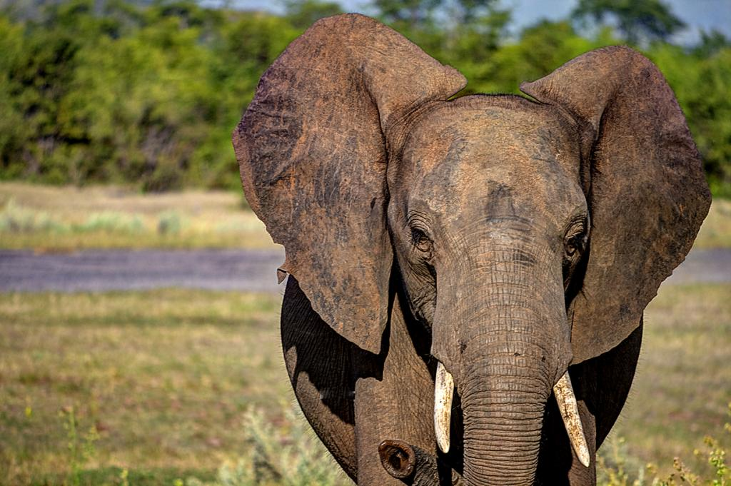 Африканские слоны имеют лучшее обоняние во всём животном царстве. (Aristocrats-hat)