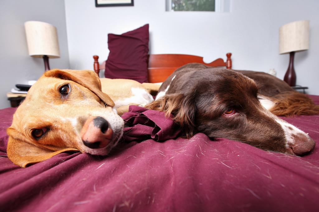 1/3 всех владельцев животных позволяют свои любимцам спать на хозяйской кровати. (TheGiantVermin)