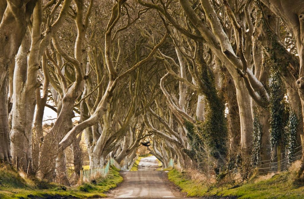 Северная Ирландия. Антрим. «Темная изгородь». (Eelco)