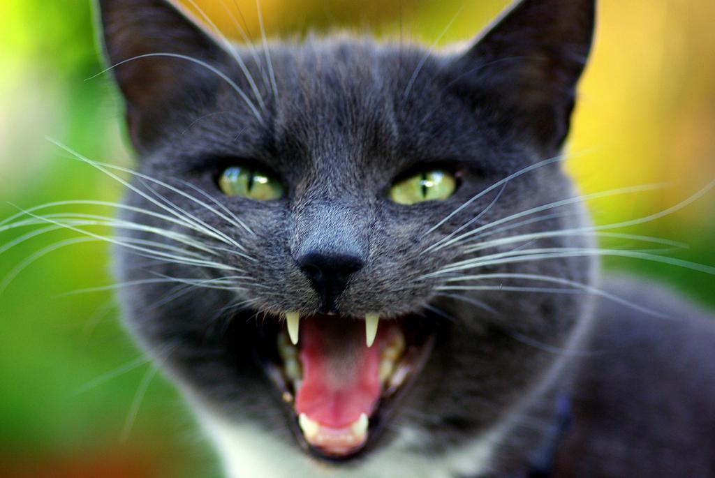 Взрослые коты мяукают только для привлечения внимания человека. (David J Laporte)