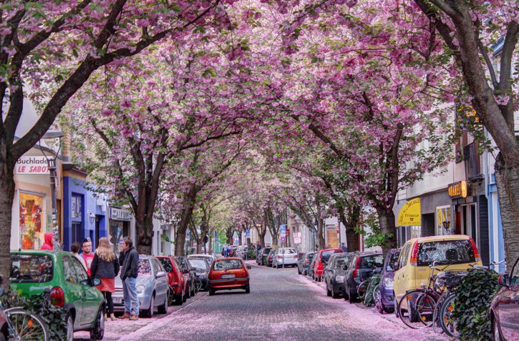 Германия. Вишневая аллея в Бонне. (Janis Kloks)