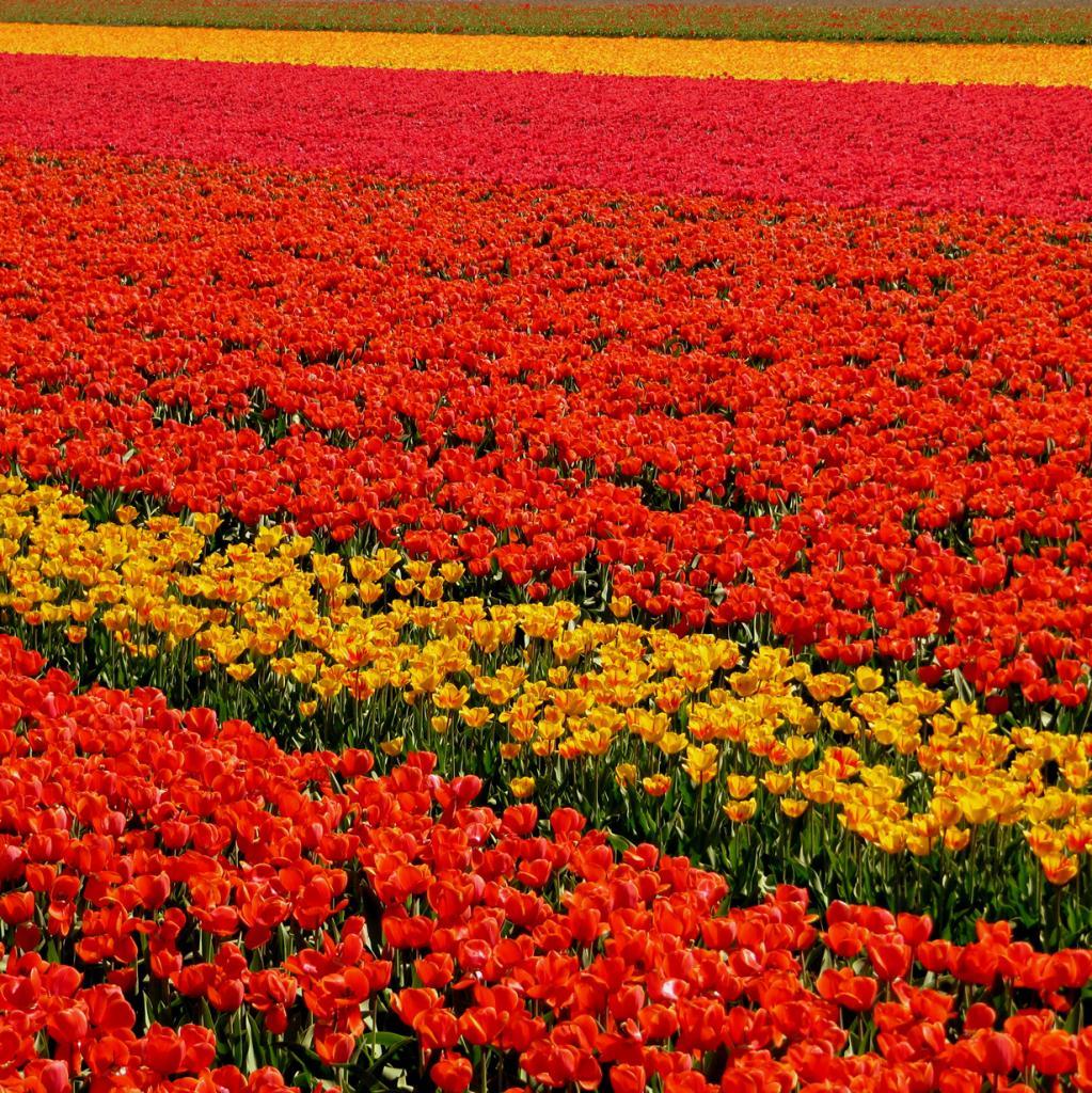 Нидерланды. Цветочные плантации. (Reto Fetz)