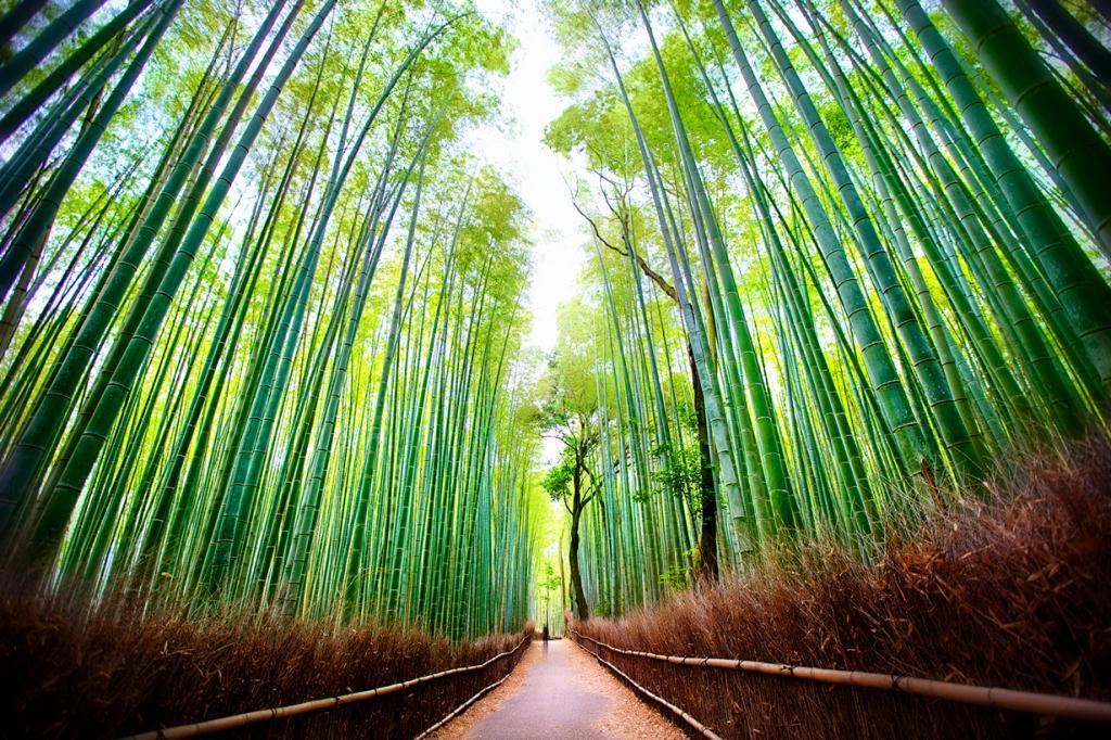 Япония. Киото. Бамбуковый лес Сагано. (Daniel Peckham)