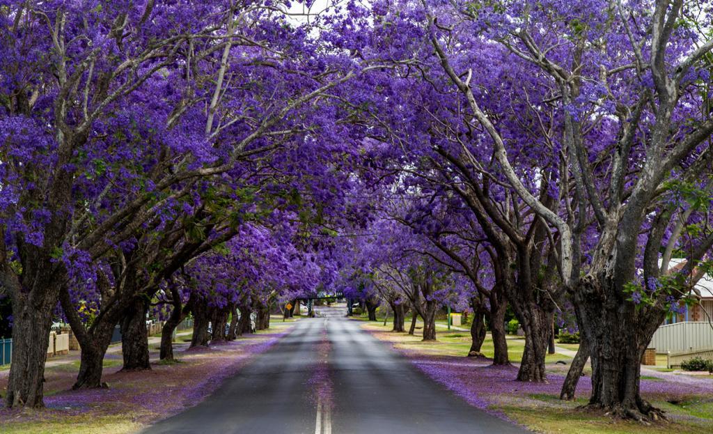 Южно-Африканская Республика. Йоханнесбург. Цветущие деревья жакаранды. (John)
