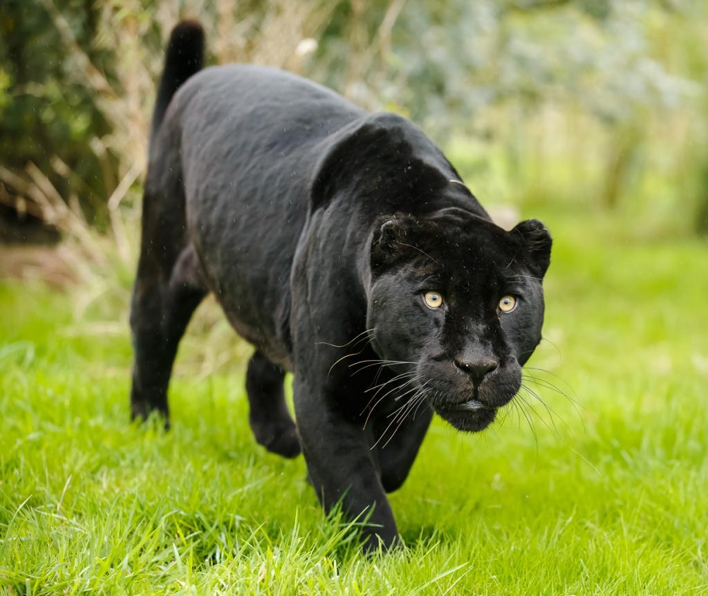 Не существует такого животного, как пантера. На самом деле, этот термин используется для описания чёрных пум, ягуаров и леопардов. ([ Greg ])
