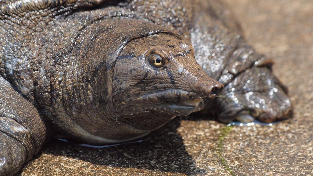 Дальневосточная черепаха — единственное известное животное, которое мочеиспускается через рот. (coniferconifer)