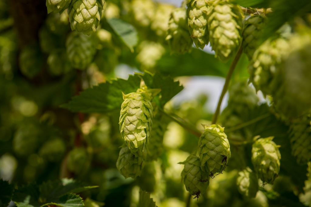 Пиво и марихуана, можно сказать, родственники — хмель и конопля принадлежат к одному семейству растений. (Mike Gabelmann)