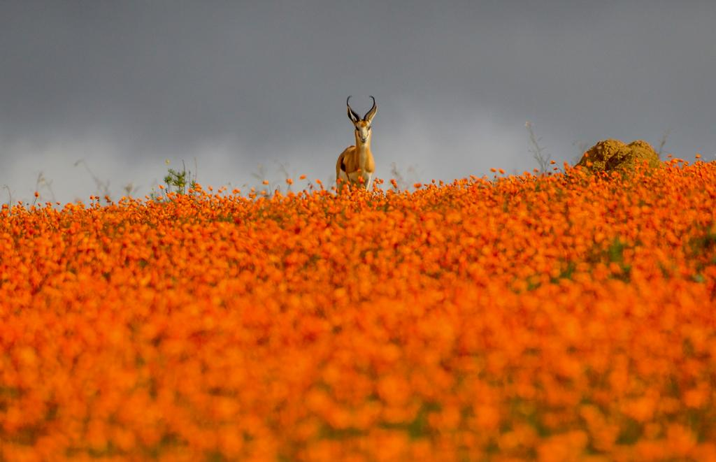 Springbok at Namaqua National Park, South Africa