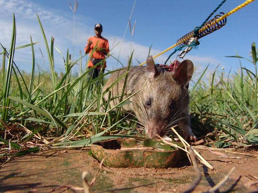 27hero-rats-bomb-demining-africa-apopo-27