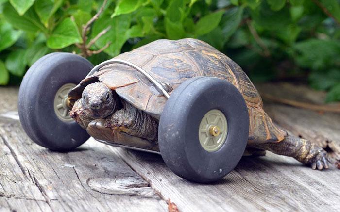 Черепаха-инвалид впечатляет скоростью