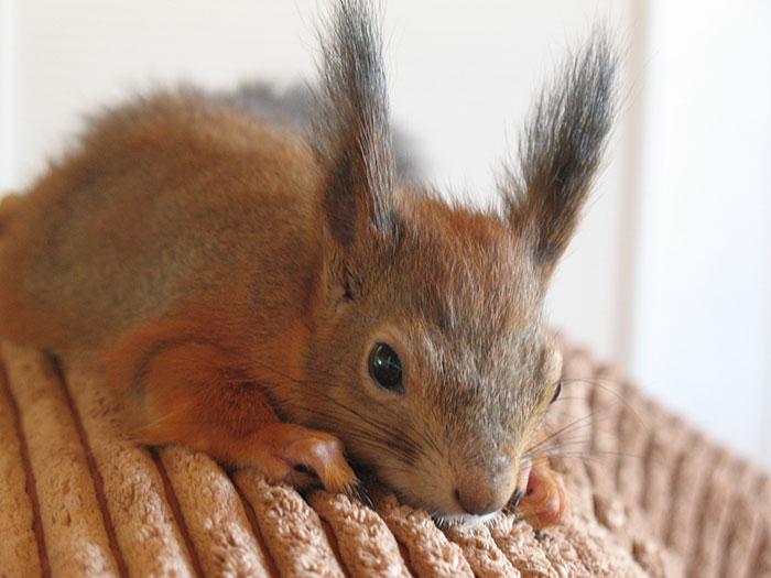 adopted-wild-red-squirrel-baby-arttu-finland-12