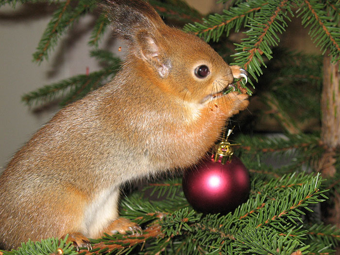 adopted-wild-red-squirrel-baby-arttu-finland-13