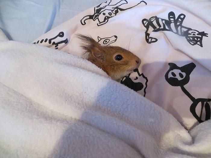 adopted-wild-red-squirrel-baby-arttu-finland-14