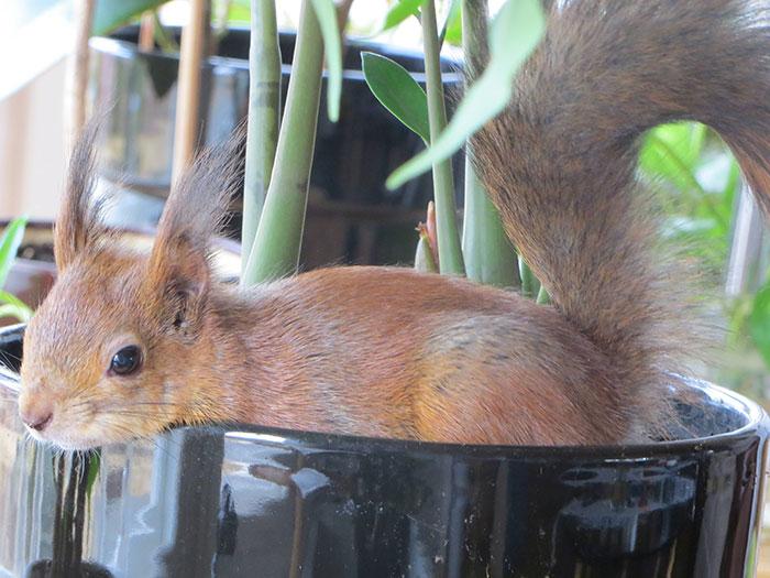 adopted-wild-red-squirrel-baby-arttu-finland-16