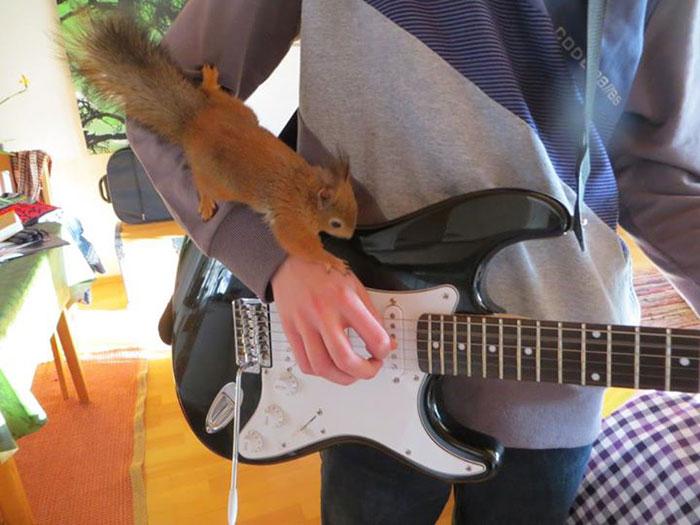 adopted-wild-red-squirrel-baby-arttu-finland-22