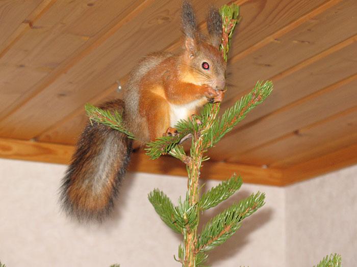 adopted-wild-red-squirrel-baby-arttu-finland-4
