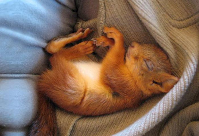 adopted-wild-red-squirrel-baby-arttu-finland-6