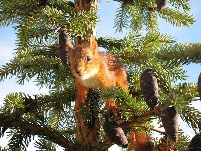 adopted-wild-red-squirrel-baby-arttu-finland-7