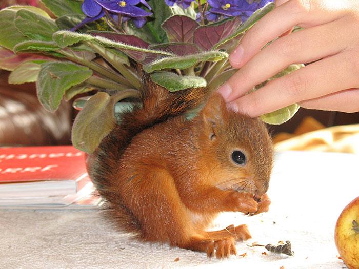 adopted-wild-red-squirrel-baby-arttu-finland-8