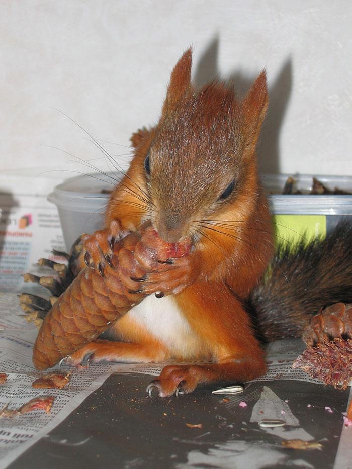 adopted-wild-red-squirrel-baby-arttu-finland-9