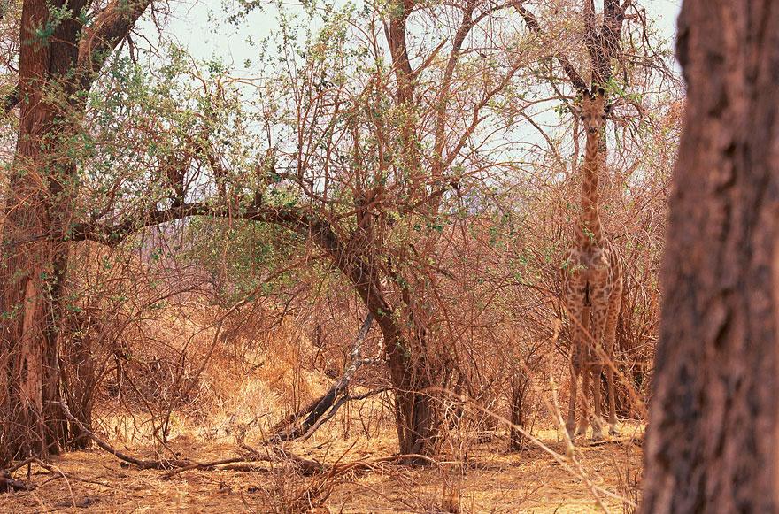 animal-camouflage-photography-art-wolfe-2