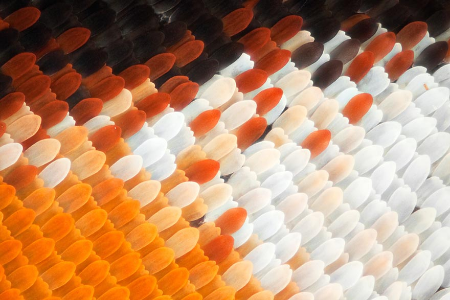 butterfly-wing-macro-photography-linden-gledhill-5