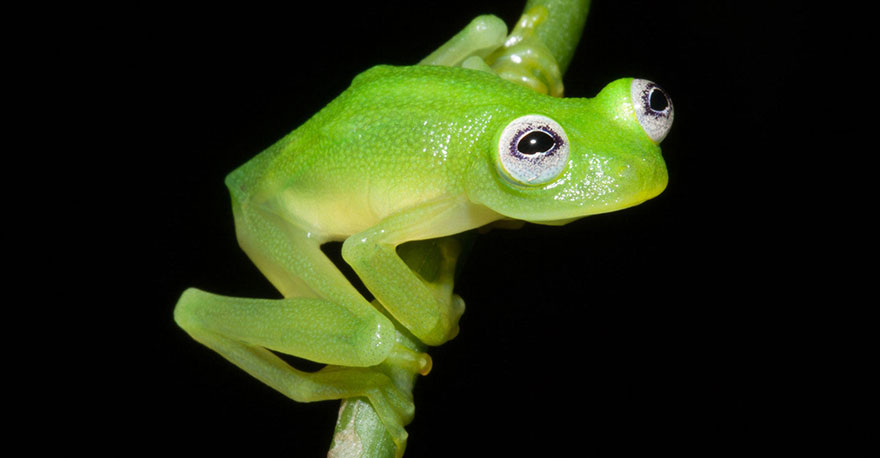 kermit-frog-lookalike-discovered-diane-bare-hearted-glassfrog-hyalinobatrachium-dianae-costa-rica-3