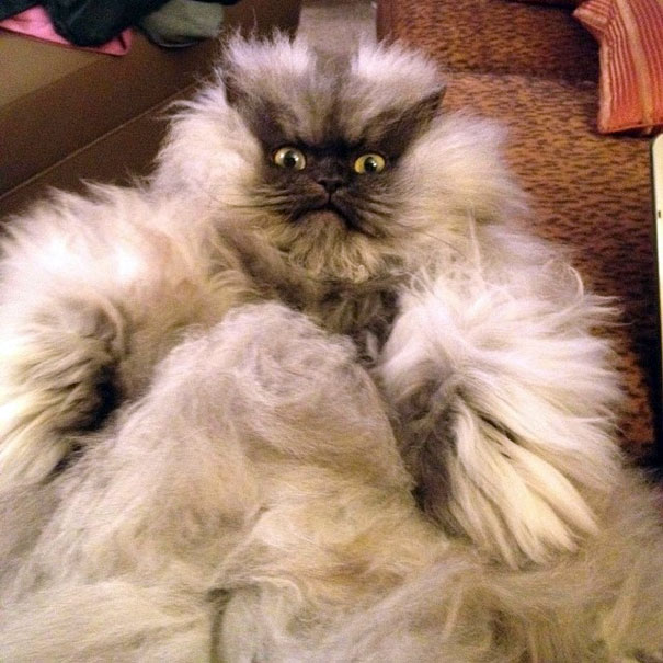 Полковник Мяу — кот с необычно длинным мехом