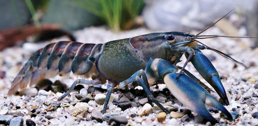 new-crayfish-species-discovered-cherax-pulcher-christian-lukhaup-indonesia-3