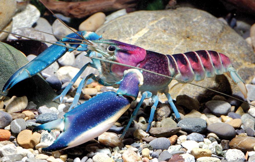 new-crayfish-species-discovered-cherax-pulcher-christian-lukhaup-indonesia-4