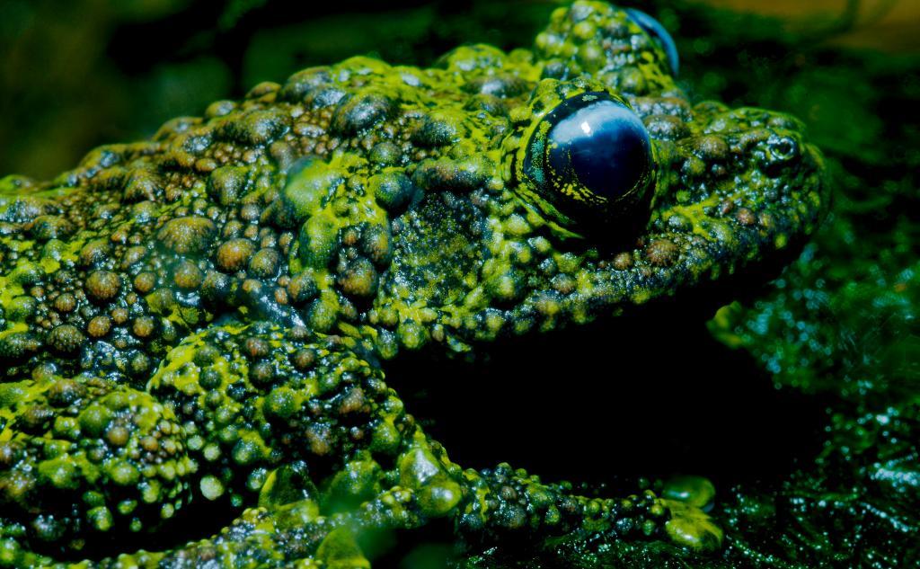Веслоногая лягушкя Theloderma corticale