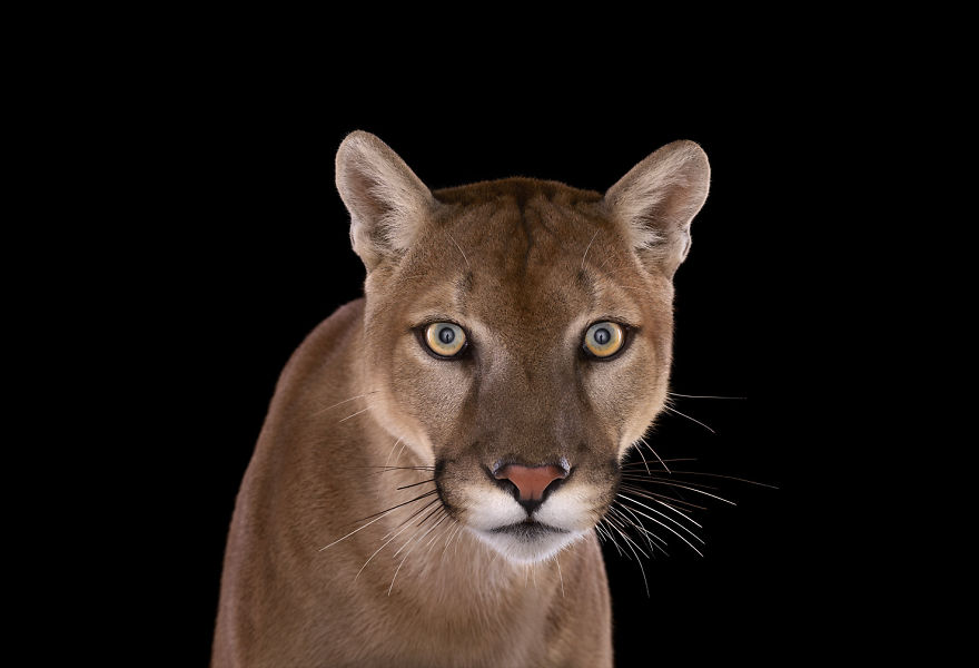 i-create-studio-portraits-of-exotic-animals-looking-directly-into-the-camera10__880