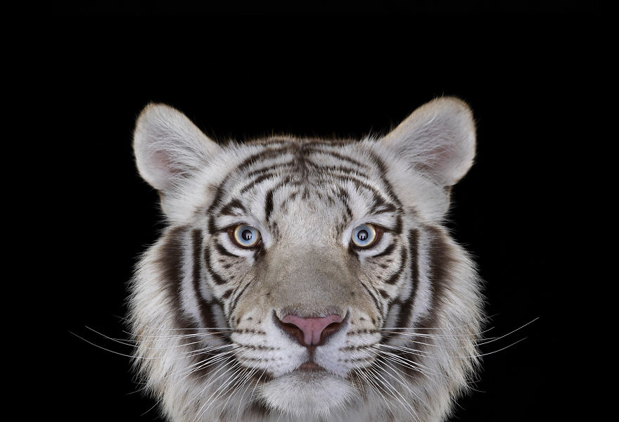 i-create-studio-portraits-of-exotic-animals-looking-directly-into-the-camera14__880