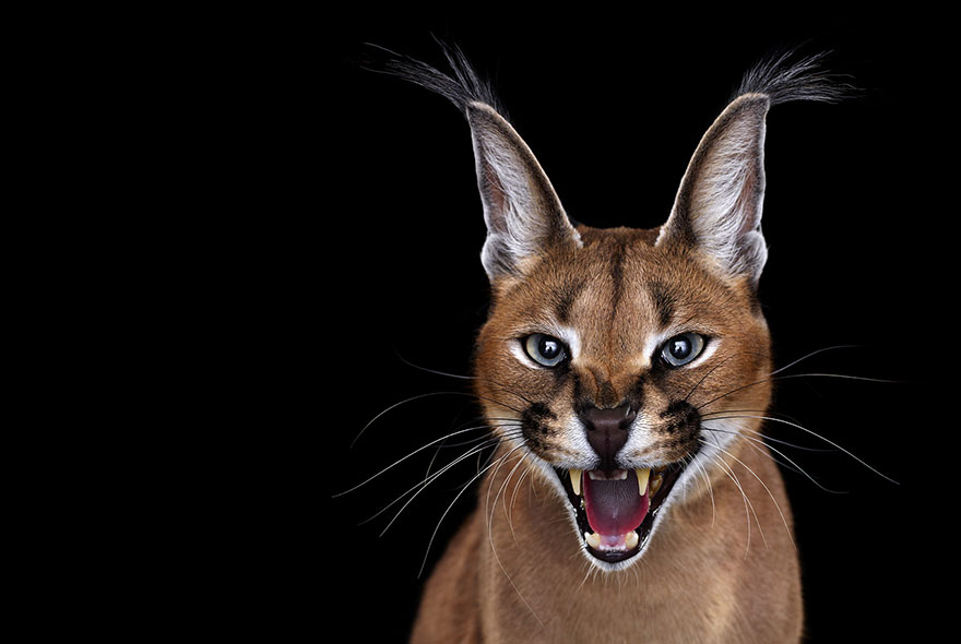 i-create-studio-portraits-of-exotic-animals-looking-directly-into-the-camera15__880-1