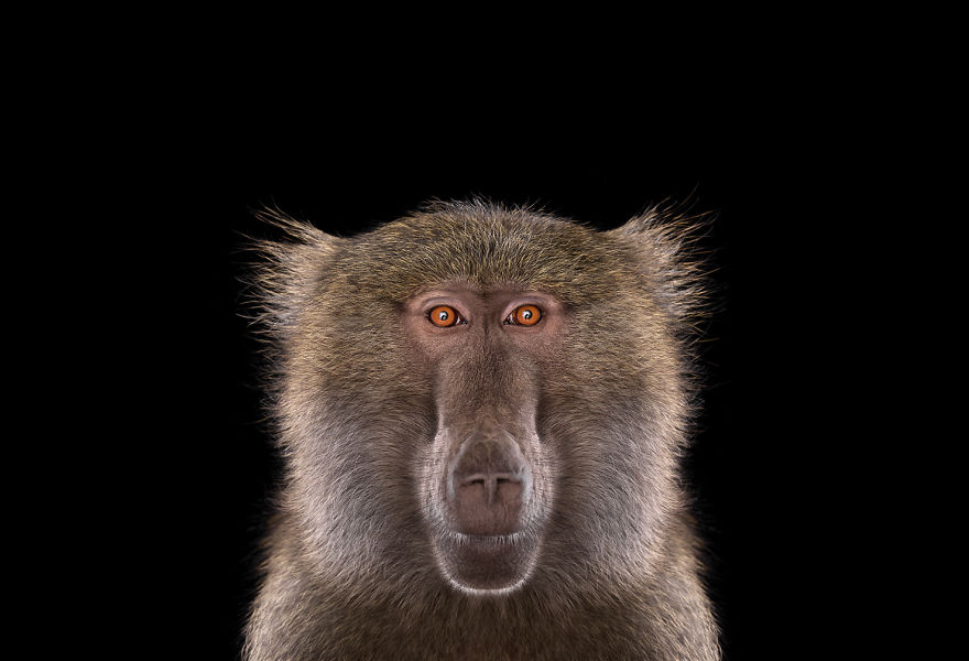 i-create-studio-portraits-of-exotic-animals-looking-directly-into-the-camera1__880