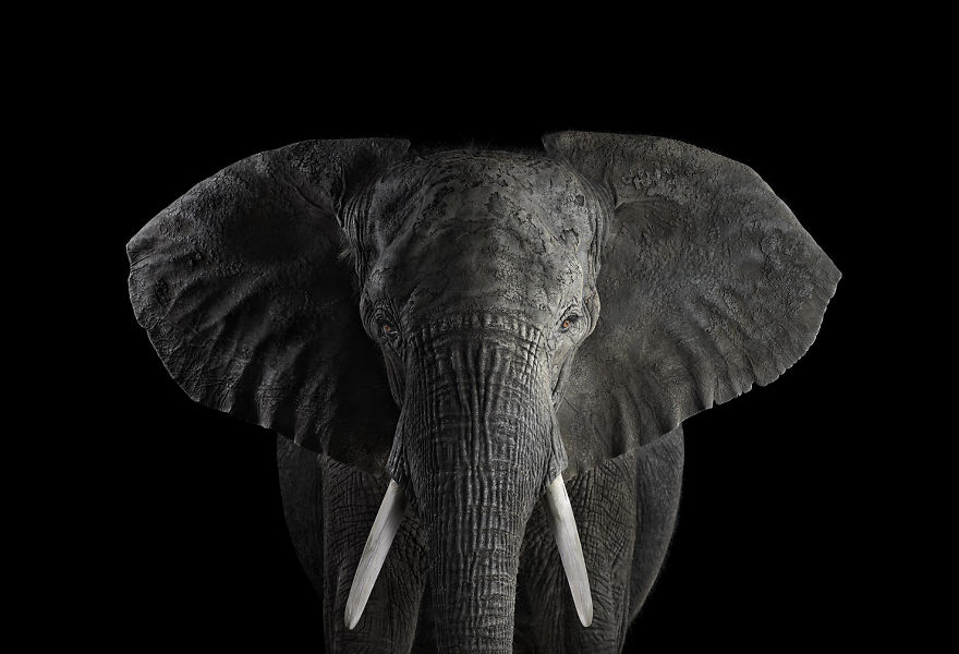 i-create-studio-portraits-of-exotic-animals-looking-directly-into-the-camera7__880