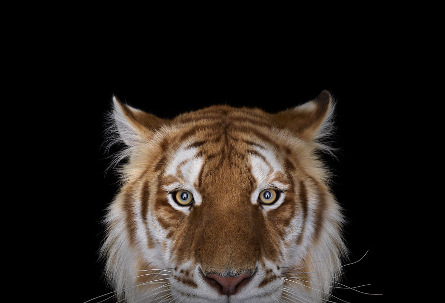 i-create-studio-portraits-of-exotic-animals-looking-directly-into-the-camera8__880