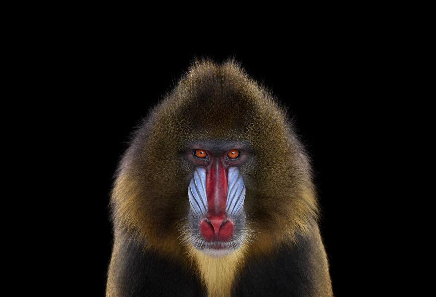 i-create-studio-portraits-of-exotic-animals-looking-directly-into-the-camera9__880