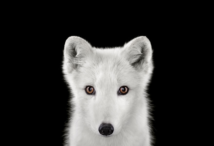 i-create-studio-portraits-of-exotic-animals-looking-directly-into-the-camera__880