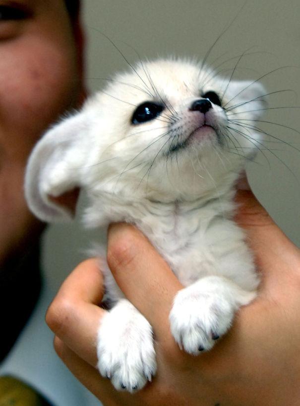 Детёныш лисицы