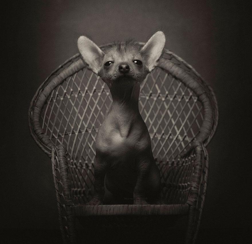 expressive-animal-portraits-human-emotions-vincent-legrange-10
