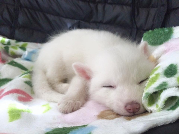 rylai-siberian-fox-red-silver-pet-domesticated-14-1