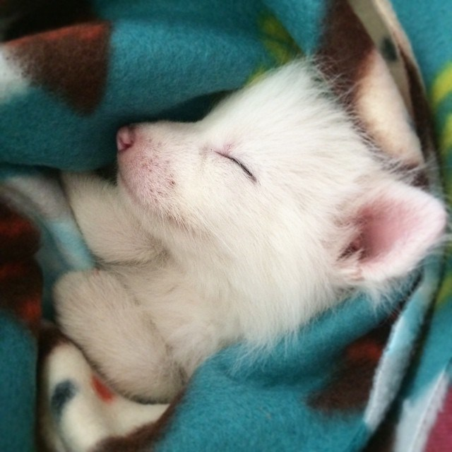 white-fox-cub-rylai-14