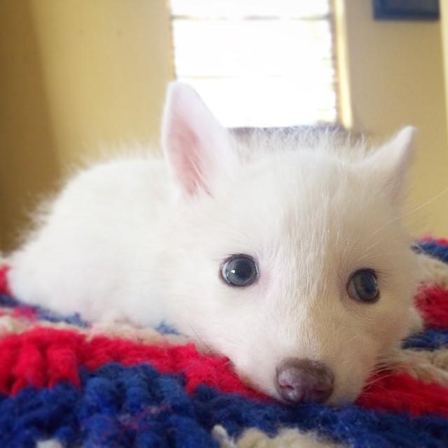 white-fox-cub-rylai-2
