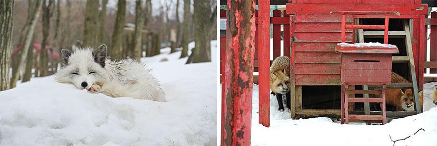 zao-fox-village-japan-39