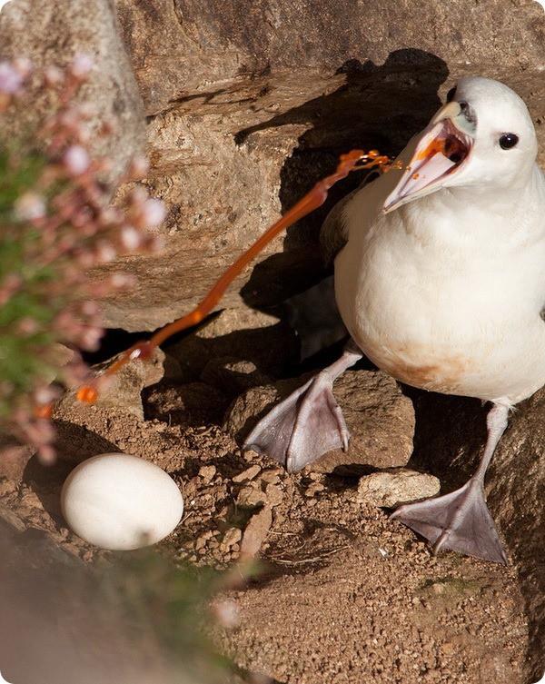 """Испуганные птенцы глупышей """"извергают"""" на хищника зловонную струю оранжевого цвета. Если пострадавший — птица, то маслянистая жидкость склеивает ее перья, лишая возможности летать. А если такая птица попадет в воду, то утонет, ведь она еще и лишилась плавучести."""