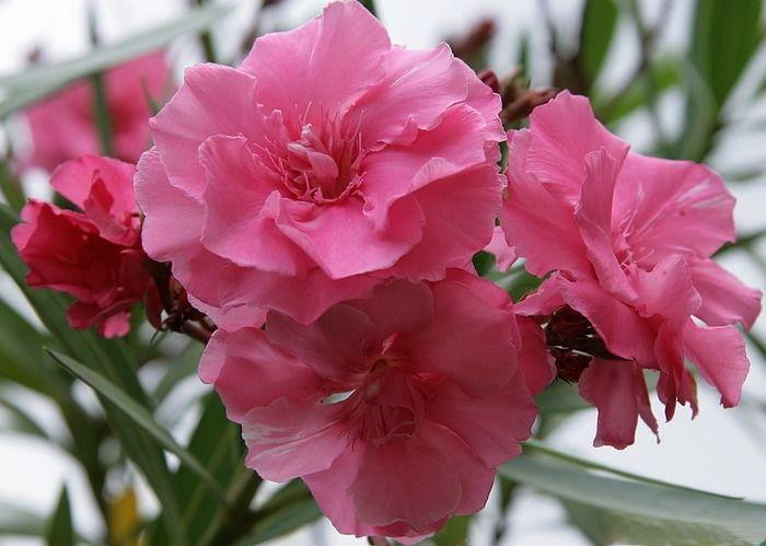 Украшая этим цветком свой сад, помните, это цветок опасен! Даже один лист достаточно ядовит, чтобы убить маленького ребенка. И даже если смерть не наступит, то навсегда останутся тяжелые последствия, в виде неполадок деятельности сердца и центральной нервной системы.
